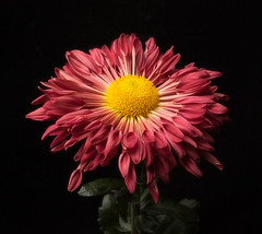 Beautiful Chrysanthemum (annabelleny Thank you for your many views and comm) Tags: flower floral blossom chrysanthemum spoon onblack blackbackground annjacobsoon