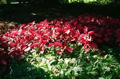 1609_YashE35GT_015.jpg (OldChE) Tags: activity cantigny coloryashinondx45f17 film flowers kodakgold200 museums places yashicaelectro35gt