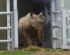 Yorkshire Wildlife Park 03.11.16 149 (SnapAndy1512) Tags: yorkshirewildlifepark031116 yorkshirewildlifepark yorkshire rhino blackrhino animals zoo