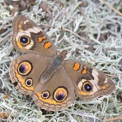 Common Buckeye -  Junonia coenia (agawa2yukon) Tags: nymphalinae nymphalidae lepidoptera