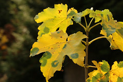 Acer (gripspix (OFF)) Tags: 20161109 acer ahorn autumnleaves herbstlaub stained fleckig