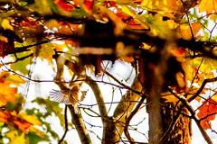 Gotcha (Golden-Crowned Kinglet?) (Michael Bateman) Tags: amniota animalia aves avilalae bird chordata eumaniraptora goldcrestskinglets goldencrownedkinglet neognathae neornithes passeriformes regulidae regulussatrapa sauropsida teleostomi tetrapoda wildlife animals birds kinnelon newjersey unitedstates us michael bateman photography michaelbateman