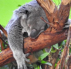 This is one sleepy koala bear! (AngelVibePhotography) Tags: napping cute koala sleeping sleep animal riverbankszoo nature photography gray nikon macro closeup outdoor fluffy zoo nikonp900 koalabear
