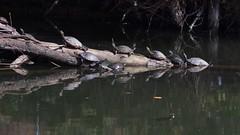 Sunning Turtles (bamboosage) Tags: takumar 200 35 preset m42