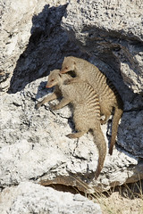 Banded mongoose pair grooming (thewildlifephotographer) Tags: mongoose