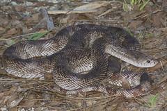 PMEL-7-large_adult-JDMays (MyFWCmedia) Tags: myfwc fwc myfwcmedia myfwccom fwri biology animal floridafishandwildlife florida fish wildlife conservation imperiledspecies imperiled threatened endangered snake