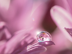 The sunlight in after the rain (Tomo M) Tags: chrysanthemum pink flower waterdroplet shine sun bright reflection bokeh petal garden