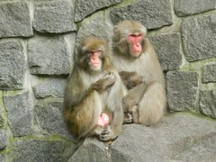 Macaca fuscata (Merintia) Tags: europa2016 berln tierpark tierparkfriedrichsfelde cautividad captivity captive macacafuscata japanesemacaque macacojapons