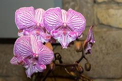 orchide (rascal76160) Tags: fleurs flower orchide orchid plantes nature couleurs vascoeuil ngc