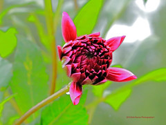 Dahlia (rumerbob) Tags: dahlia reddahlia flower floral flowergarden fauna longwoodgardens macro macroflower macrophotography canon7dmarkii canon100mmmacrolens nature naturewatcher