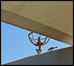Abu Dhabi Corniche - Feathered Friends (Indianature21) Tags: abudhabi abudhabicorniche unitedarabemirates uae indianature 2016 november yellowventedbulbul bird bulbul