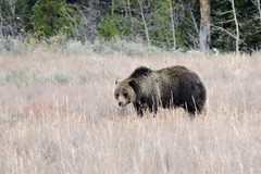 Blondie the Grizzly Bear (mooreskyler242) Tags: grizzlybear blondie grandteton grandtetonnationalpark yellowstonewildlife