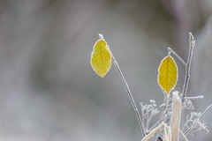 Two Frosty Leaves-44842.jpg (Mully410 * Images) Tags: bokeh natural landscape winter minnesotarivervalleynationalwildliferefuge icy hoarfrost cold crystal leaves cattail bloomington green grass twoleaves season nature winterwonderland leaf outdoor morning plant fallcolors pair fog nationalwildliferefuge graybackground frost isolated yellow mvnwr frosty