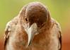 Pied butcherbird (2 of 22) (Daniela Parra F.) Tags: aves birds butcherbird piedbutcherbird australia queensland southeastqueensland birdsofaustralia australianwildlife aussiebirds australianbirds wild wildlife springbrook subtropical rainforest mountainrainforest springbrooknationalpark