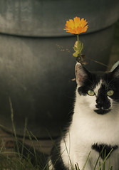 ^ (dagomir.oniwenko1) Tags: cat style sigma candid canon canoneos60d color flowers animals lincolnshire england uk gb wainfleet