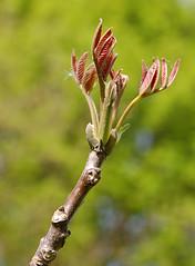 Walnuss_Blatt-Austrieb_DSC_0172 (schaefer_rudolf) Tags: natur baum walnuss nuss juglandaceae laubbaum walnussbaum baumnuss regia walnussgewchse echte walnuss juglans