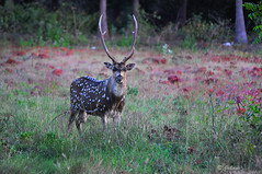 One of the magnificent creations!        -  Explore (Jehane*) Tags: india animal nikon deer antlers chennai 2012 jehane spotteddeer nikond5000 jehanephotography