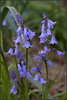 Bluebells 1 (AmbitiousJam) Tags: flowers blue bluebells canon 50mm spring floralappreciation d1100