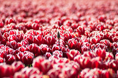Late Bloomer (Frenklin) Tags: flowers red holland netherlands dutch field clouds tulips may nederland thenetherlands wolken farmland bloomer bloom mei groningen rood bloemen tulipfield 2012 tulpen blooming kleur tulpenveld provincie bloembollen tulipbulbs zijldijk mei2012