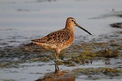 Long-billed Dowitcher (Tj & Jo) Tags: birds waterbirds shorebirds