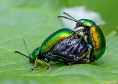 IMG_0197 Green Dock Beetle (Gastrophysa viridula), Whitacre Heath, Warwickshire 06Jun12 (Lathers) Tags: warwickshire gastrophysaviridula greendockbeetle canon7d whitacreheath canonef100f28lisusm wkwt 06jun12
