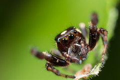Jumping spider does just what the name says (Stephen Begin) Tags: macro spider jump jumping about