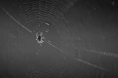 Peter (Hans-Kristian Valnes) Tags: blackandwhite macro up closeup spider close web diagonal peter litle