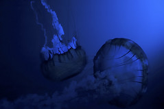 Jellyfish (Vronique Hamel Artiste) Tags: blue fish water aquarium eau jellyfish bleu poisson mduse