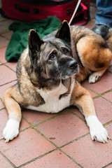 Deaf Akita :3 (Knight725) Tags: dog pennslanding d800 2470f28 adoptionevent