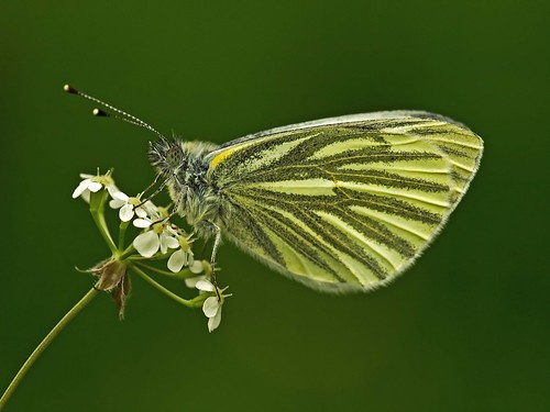 Green veined White on Hairy Chervil