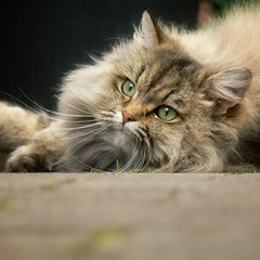 Snapseed pictures (lazyjane1977) Tags: cats cute animal cat foxy dof fluffy flickrandroidapp:filter=none