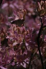 IMG_4979 (krissos.photography) Tags: flowers flower minnesota landscape photography spring azaleas blossom blossoms may arboretum azalea naturephotography 2013 minnesotaarboretum 3miledrive