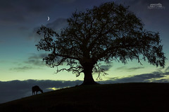 The three of night (bgspix) Tags: nightphotography blue ireland shadow moon tree animals night canon dark ombre bluehour arbre ef24105mmf4lisusm canoneos5dmarkiii