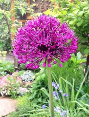 Allium (lindavin58) Tags: flower purple magenta mygarden allium