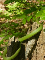 Rough Green Snake (Christine_Ray) Tags: new pine forest state reserve national jersey pinelands barrens belleplain belleplaincapemayandparvin
