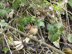 Bird - Wren 130329 Lower Slaughter 2 (maljoe) Tags: bird birds wren