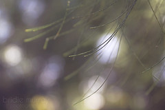 Manual Focus. (Bridie Murray) Tags: tree green pine canon botanical bokeh 7d greenery f28 saturdays 2470mm canon7d
