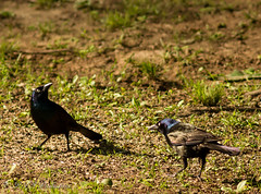 Grackles (Rick Smotherman) Tags: stpeters nature birds canon garden outdoors spring backyard 7d canon300mmf4l canon7d