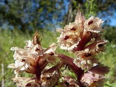 Orobanche sp. (VIII) (.Bambo.) Tags: wild plant flower planta flor plantae silvestre orobanche orobanchaceae lavallesa parsita