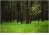 Een lariks in het bos (5D053269) (nandOOnline) Tags: licht bomen nederland natuur boom bos landschap zonlicht rips lariks compositie nbrabant stippelberg