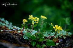 Flowers @ Lower Butte Creek Falls (Photos by Wesley Edward Clark) Tags: flowers oregon molalla buttecreek scottsmills lowerbuttecreekfalls