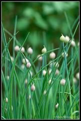 Gräslök (mmoborg) Tags: flowers sweden sverige blommor mmoborg mariamoborg