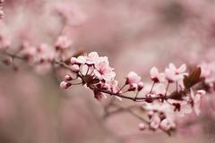 IMG_1814_LR_v1 (|Chen) Tags: cherryblossom sakura byu  brighamyounguniversity