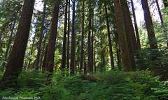 Old Growth Forest (John Behrends) Tags: forest pentax pentaxk01 opalcreekwildernessarea dailyrayofhope2013