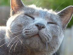 Noodle about to scratch his back (celerycelery) Tags: pet cat grey feline gray noodle russianblue