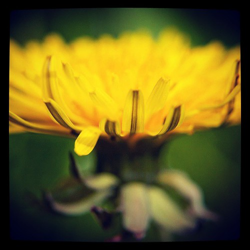 Good night folks. Have happy dreams x #dandelion #yellow #nature