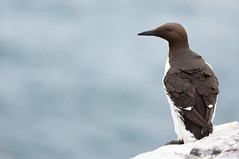 Guillemot portrait (markrellison) Tags: sea wild bird birds iso200 unitedkingdom wildlife northumberland nationaltrust farne f28 farneislands seabird lightroom 70200mm guillemot 200mm seahouses uriaaalge auk canoneos5d auks 11000sec lr4 lightroom4