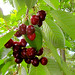 Time to Pick Cherries!