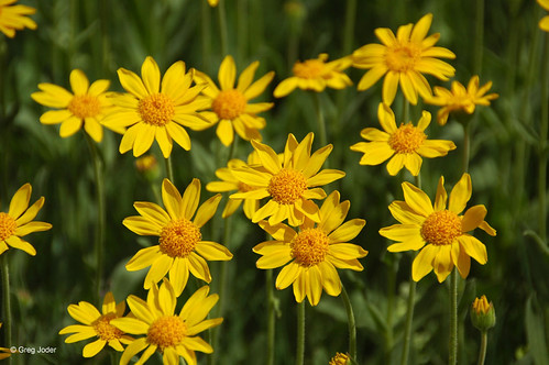 Photo - Orange Arnica flowers in a meadow at Joder Ranch Open Space.
