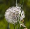 Fuzzyball  take off (Snoek2009) Tags: nature fussy tragopogonpratensis gelemorgenster pluizenbol mygearandme mygearandmepremium mygearandmebronze mygearandmesilver mygearandmegold mygearandmeplatinum mygearandmediamond